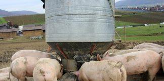 Porcos se alimentando